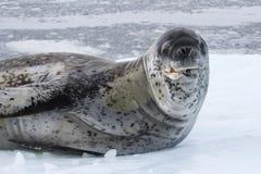 Mar masculino grande del sello del leopardo en una masa de hielo flotante de hielo Imagenes de archivo
