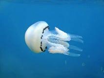 Mar Mediterráneo del pulmo de Rhizostoma de las medusas Foto de archivo