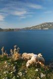 Mar Mediterráneo y ovejas Imágenes de archivo libres de regalías
