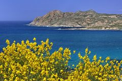 Mar Mediterraneo vicino a Ile Ruse con le piante gialle della scopa, Balagne, Corsica del Nord, Francia Immagine Stock