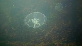 Mar Nero, il golfo di Odessa L'aurelia aurita inoltre ha chiamato la gelatina della luna, le meduse della luna, le meduse comuni, archivi video