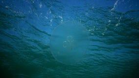 Mar Nero, il golfo di Odessa L'aurelia aurita inoltre ha chiamato la gelatina della luna, le meduse della luna, le meduse comuni, stock footage
