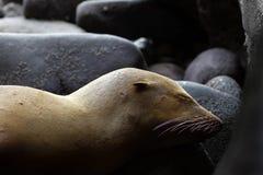 Mar novo Lion Sleeping Camouflaged como uma rocha seus orelha e Whiske imagens de stock royalty free