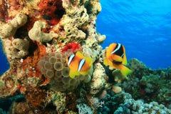Mar Rojo Anemonefishes Foto de archivo libre de regalías