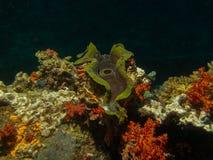 Mar Rojo de la cáscara del mar subacuático imagen de archivo libre de regalías