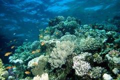 Mar Rojo de los pescados de Anthias Foto de archivo