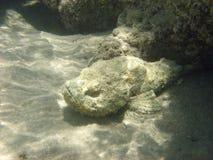 Mar Rojo Egipto África del Angelfish foto de archivo
