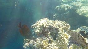 Mar Rojo Sailfin Tang Eating The Corals almacen de metraje de vídeo