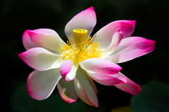 Mar Rose en el jardín, Kauai, los E.E.U.U. Foto de archivo