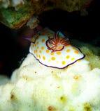 Mar Rosso anellato del nudibranch di Chromodoris Immagini Stock
