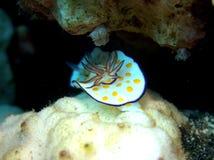 Mar Rosso anellato del nudibranch di Chromodoris Fotografie Stock
