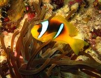 Mar Rosso Anemonefish Immagini Stock