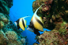 Mar Rosso Bannerfish fotografie stock libere da diritti