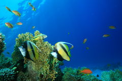 Mar Rosso Bannerfish fotografia stock libera da diritti