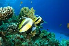 Mar Rosso Bannerfish Immagini Stock