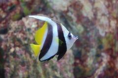 Mar Rosso Bannerfish immagine stock libera da diritti