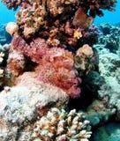 Mar Rosso barbuto dello scorfano della piccola scala rosa Fotografia Stock