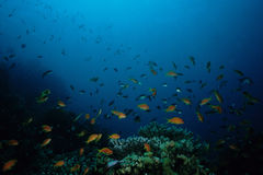 Mar Rosso del pesce di Anthias Fotografia Stock