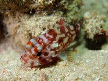 Mar Rosso dello scorfano macchiato giallo Fotografie Stock Libere da Diritti