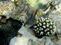 Mar Rosso di Hawkfish dell'Arco-occhio Fotografia Stock Libera da Diritti