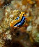 Mar Rosso di Nudibranch Chromodorid del pigiama Immagine Stock Libera da Diritti