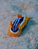 Mar Rosso di Nudibranch Chromodorid del pigiama Immagini Stock