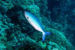 Mar Rosso più fusilier, suevica di caesio Fotografia Stock
