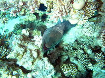 Mar Rosso residente Fotografia Stock