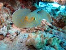 Mar Rosso residente Immagini Stock