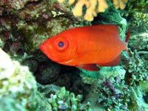 Mar Rosso residente Immagine Stock Libera da Diritti