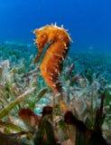 Mar Rosso spinoso dell'ippocampo del cavalluccio marino immagini stock libere da diritti