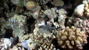 Mar Rosso subacqueo del Porcupinefish dell'istrice del pesce di diodon hystrix archivi video