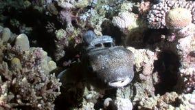 Mar Rosso subacqueo del Porcupinefish dell'istrice del pesce di diodon hystrix stock footage