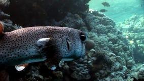 Mar Rosso subacqueo del Porcupinefish dell'istrice del pesce di diodon hystrix del primo piano video d archivio