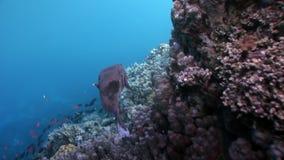 Mar Rosso subacqueo del Porcupinefish dell'istrice del pesce di diodon hystrix del primo piano stock footage