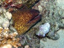 Mar Rosso verde gigante dell'anguilla di Moray Fotografie Stock