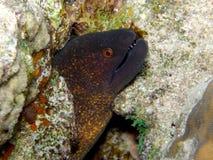 Mar Rosso verde gigante dell'anguilla di Moray Fotografia Stock Libera da Diritti