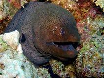 Mar Rosso verde gigante dell'anguilla di Moray Fotografia Stock