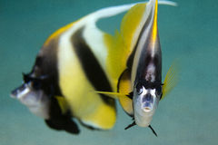 Mar Vermelho Bannerfish subaquático Foto de Stock Royalty Free
