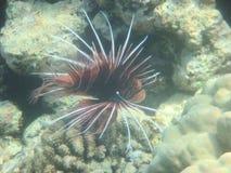 Mar Vermelho Egipto África do Angelfish Imagens de Stock Royalty Free