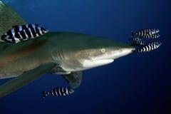Mar Vermelho grande perigoso do tubarão Fotos de Stock Royalty Free