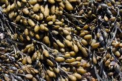 Mar Weed Imágenes de archivo libres de regalías