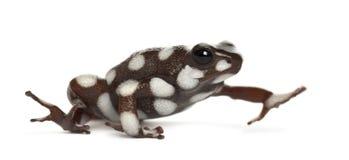 Marañón Poison Frog or Rana Venenosa stock images