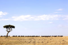 mara μετανάστευση masai η πιό wildebeesη Στοκ Εικόνα