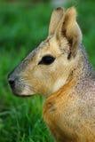 巴塔哥尼亚人的豚鼠Mara 免版税库存图片
