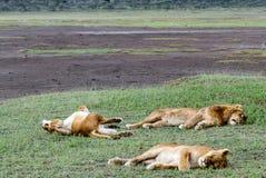 非洲肯尼亚狮子mara马塞人休眠 免版税库存照片