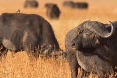 mara bawoli masai Zdjęcia Royalty Free