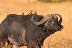 mara bawoli masai Fotografia Royalty Free