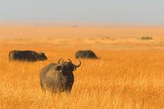 mara bawoli masai Obraz Royalty Free