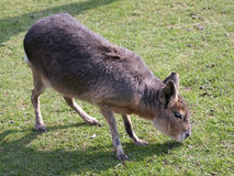 Mara, big Patagonian hare Stock Image